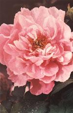 Buskpionens stora sammetsmjuka blommor slår ut i maj och har en hänförande doft.