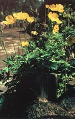 Engelsk vallmo är sirligare och blommorna vippar glatt på långa stänglar.
