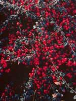 Med sina vackra röda bär är krypoxbär Cotoneaster 'Coral Beauty' en färgglad höstprydnad i många slags planteringar, även som balkongväxt på stam i kruka.