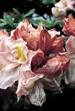 Azalea 'Cecile', Rhododendron Knap Hill-hybrid