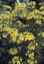 Guldazalea, Rhododendron luteum
