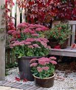 Kärleksört i kruka lyser upp vid entrén hela sensommaren och långt in på hösten.