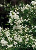 Exochorda macr. 'The Bride', pärlbuske