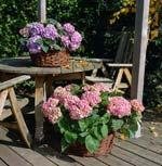 Hortensia, Hydrangea Macrophylla-gruppen