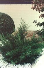 Trädgårds-enen Mint Julep är en lättskött barrväxt med mjuk grönska som skiftar i färg över året.
