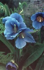 Blå bergvallmo väcker uppseende med sina lysande blå blommor och de kraftigt gula ståndarna.