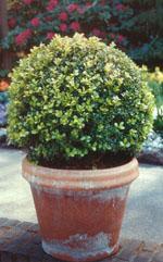 Bollformad buxbom finns i olika storlekar, även på stam. sätt några tillsammans till ett dekorativt arrangemang.