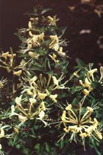 I kruka på balkong, altan eller uteplats eller planterad som vanligt i en rabatt, gärna tillsammans med storblommiga rosor. Den nya lilla buskkaprifolen 'Honey Baby' passar in överallt.