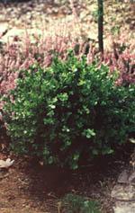 Rundklippta bollar av Buxus microphylla 'Faulkner' väcker uppmärksamhet var de än står, odlade i kruka eller i rabatten framför husets entré.