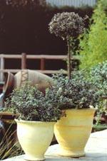 Klätterbenved, Euonymus fortunei 'Emerald Gaiety'