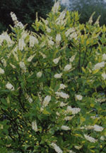 KONVALJBUSKE, Clethra alnifolia