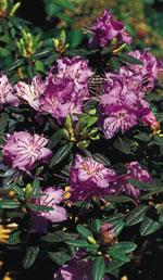 Rhododendron 'Ramapo', Kudd-alpros