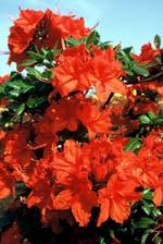 Azalea 'Fanal', Rhododendron Knap Hill-hybrid