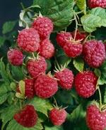 Rubus idaeus, hallon