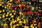 Tagetes drar till sig blomflugor.