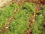 Sedan kan man lägga på gräsklipp mellan raderna.