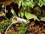 Om odlingen sker i en vattensäng, kan man vattna i bevattningsröret.