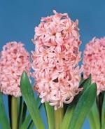Hyacint Anne Marie