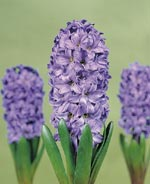Hyacint Blue Star