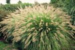 Lampborstgräs, Pennisetum alopecuroides 'Hameln'