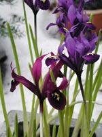Två sorter av Iris reticulata, våriris, i kruka