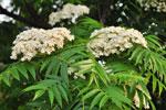 Sorbus 'Dodong' i blomma