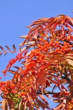 Sorbus 'Dodong' höstfärg, bär