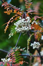 Pärlrönn, Sorbus koehneana/fruticosa