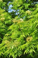 Sorbus 'commixta' i blom