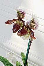 Naturens egen juvel, orkidén