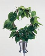 Philodendron scadens (klätterkalla)