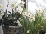 Här i fönstret tronar de vita blommorna, narcissen 'Cragford', julrosen (Helleborus niger) och gräset (Carex brunnea).