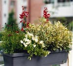 Höstöga, Coreopsis, har just börjat slå ut sina röda blommor. Snart kan de tävla med de röda penstemonklockorna.