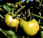 Kandidater till grön tomatmarmelad?