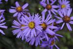 Tappra höstastrar blommar än! Aster amellus 'Blütendecke'.
