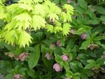 Acer japonicum 'Aureum'