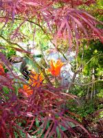 Acer palmatum dissectum 'Garnet'