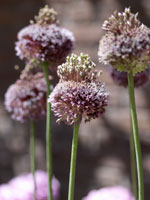 Fyrverkerilök, Allium vineale 'Forelock'