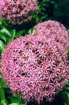 Allium giganteum. En verklig gigant, jämför storleken på humlan som sitter på...