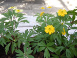 Anemone ranunculoides 'Semiplena' + Anemone lipsiensis