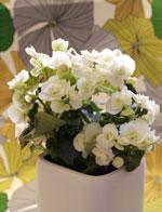 Begonia 'Clara Franje'