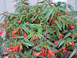 Begonia boliviensis Bonfire