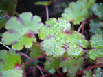 Saxifraga fortunei 'Blackberry and Apple Pie'