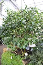 Camellia sinensis, tebuske