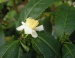 Camellia sinensis, tebuskens blomma