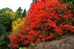 Sorbus 'Dodong' höstfärg