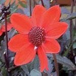 Orange dahlia 'Dark Angels'