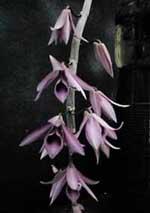 Dendrobium_superbum.jpg (14165 bytes)
