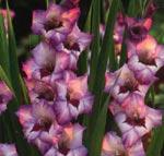 Gladiolus x gandavensis, Grandiflora-hybrid, 'Vera Lynn'