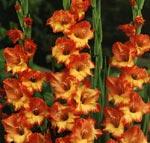 Gladiolus x gandavensis, Butterfly-hybrid, 'Princess Margaret Rose'